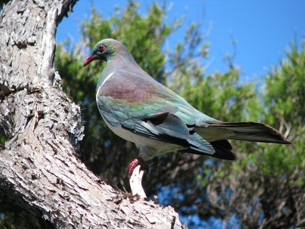 New Zealand native wood pigeon in the Marlborough Sounds