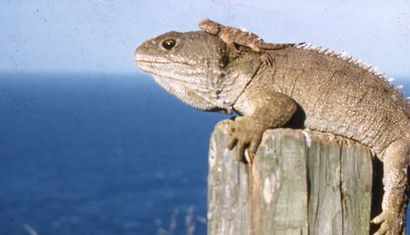 Tuatara Tuesday image