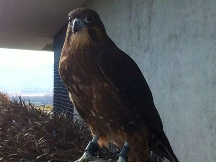 Learn about New Zealand native falcon rehabilitation at Marlborough's Brancott Estate Heritage Centre